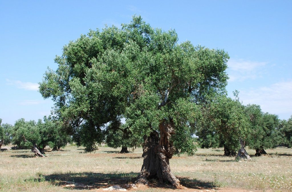 The Olive Tree A Common Yet Invasive Plant In California Vca